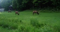 Cataloochee Elk, Tobacco Barn & Caldwell house