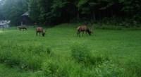Cataloochee Elk, Tobacco Barn & Caldwell house