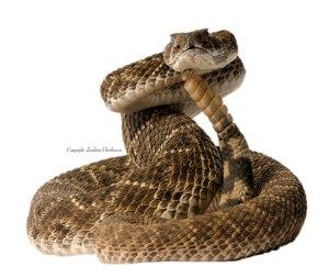 Snake_strike_coiled_HI